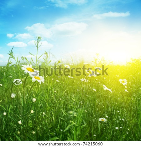 Daisy field in evening time. - stock photo