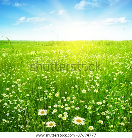Daisy field under sunlight. - stock photo