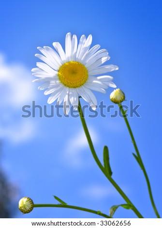 Daisy flower against a blue sky - stock photo