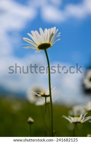 Daisy flower against cloudy blue sky - stock photo
