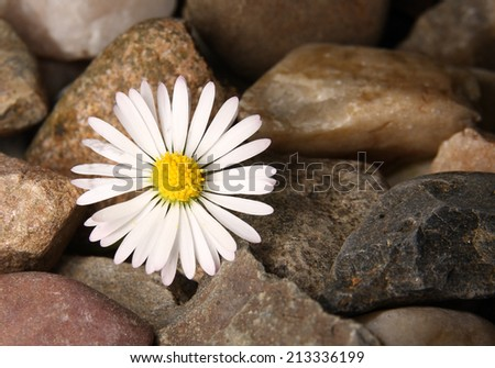 Daisy flower and pebbles  - stock photo