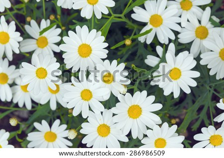 Daisy flower background. Daisy is a flower of Asteraceae family - stock photo