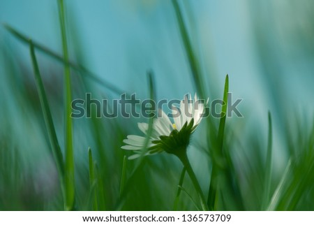 Daisy flower bathing in sunlight with shallow depth of field - stock photo