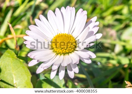 Daisy flower (Bellis perennis) early spring macro, Slovakia