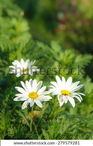 Daisy Flower by the Mountain - stock photo