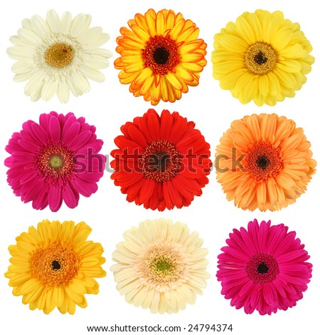 Daisy flower collection isolated on white background - stock photo