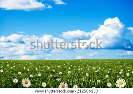 daisy flower field - stock photo