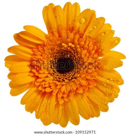 Daisy flower gerbera isolated on white background - stock photo