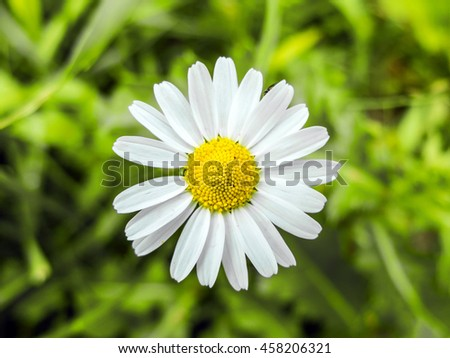 Daisy flower growing in a meadow in the green grass. White petals of wild daisies close. Medicinal flowers of wild nature. Chamomile macro. - stock photo