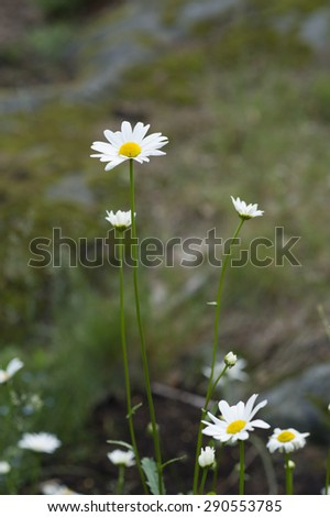 Daisy flower in the forest. - stock photo