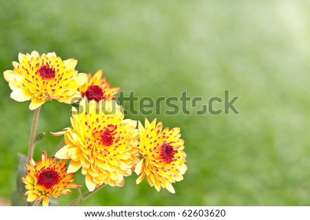 daisy flower in the garden - stock photo