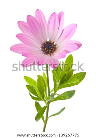 Daisy flower isolated on white - stock photo