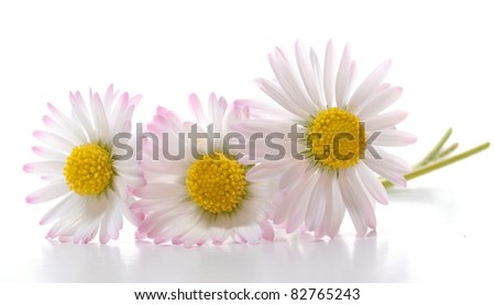 daisy flower isolated on white background with copyspace - stock photo