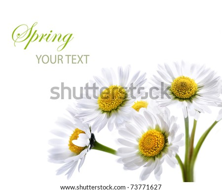 Daisy flower isolated over white - stock photo
