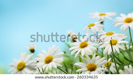Daisy flower on blue background - stock photo
