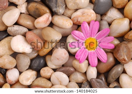 Daisy flower on stones background - stock photo