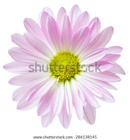 Daisy Flower Pink White Yellow Daisies Blossom Floral Flowers Isolated - stock photo
