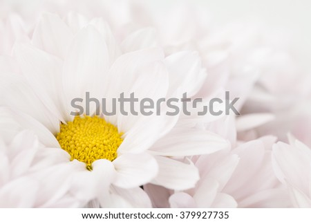 Daisy Flower Pink Yellow White Daisies Blossom Floral Flowers