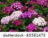 Daisy flowerbed background - stock photo