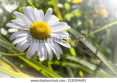Daisy flowers alone with blue sky and sunlight - stock photo