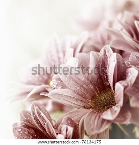 Daisy flowers bouquet closeup - stock photo