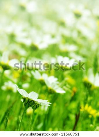 Daisy flowers field  (shallow DOF); spring series C - stock photo