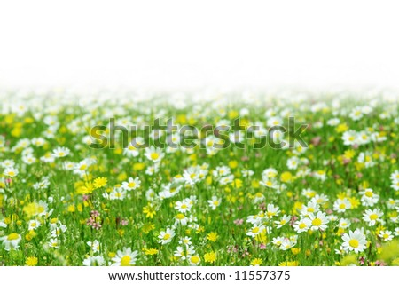 Daisy flowers field with copy-space (shallow DOF); spring series C - stock photo