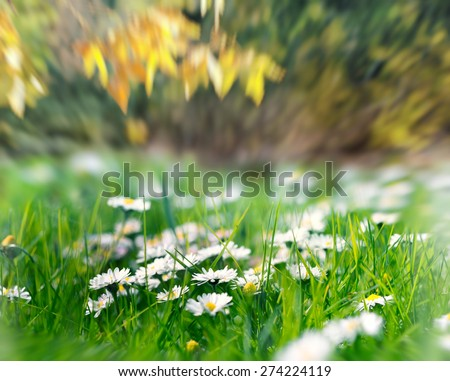 Daisy flowers in grass  - stock photo