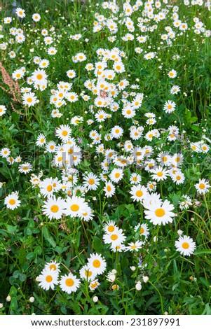 Daisy flowers in meadow - stock photo