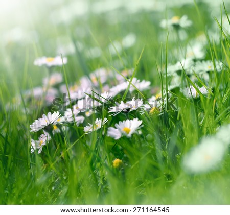 Daisy flowers in spring grass - stock photo