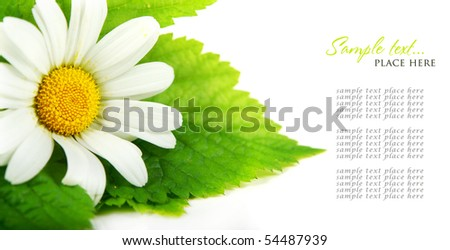 Daisy flowers in white background (selective DOF) - stock photo