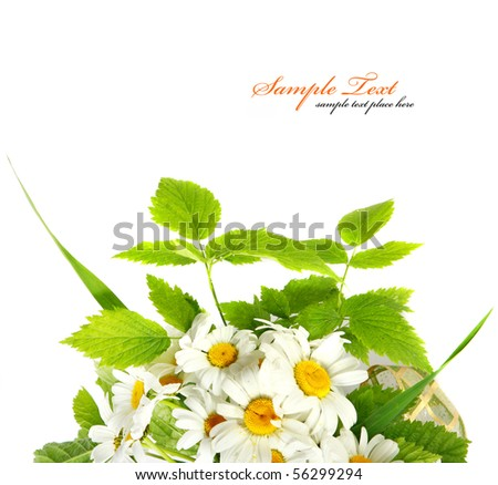 Daisy flowers in white background (shallow DOF) - stock photo