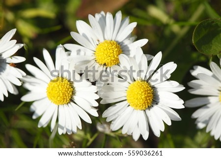 Daisy Flowers on a Meadow