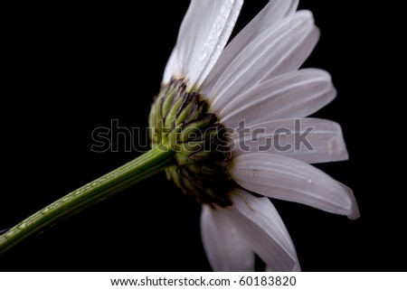 Daisy flowers on black background studio shot - stock photo