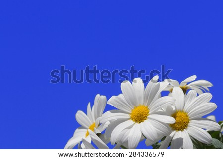Daisy flowers on blue sky - stock photo