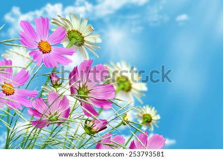 daisy flowers on blue sky background - stock photo