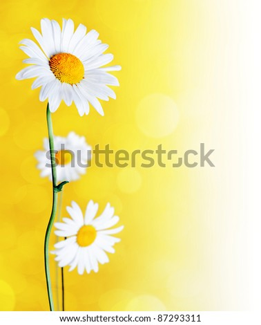 Daisy flowers on yellow background.