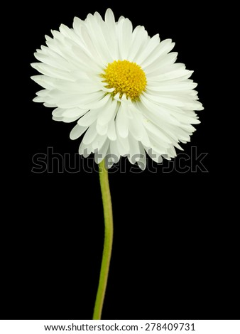 Daisy flowers or Bellis Perennis on a black background - stock photo