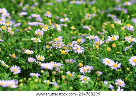 Daisy flowers,purple daisy flowers blooming in the garden - stock photo