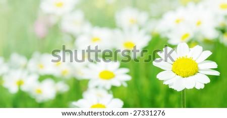 Daisy flowers (selective DOF); spring series B - stock photo