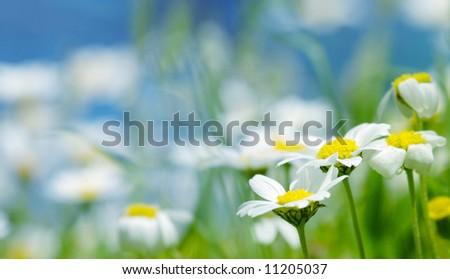 Daisy flowers (shallow DOF); spring series B - stock photo