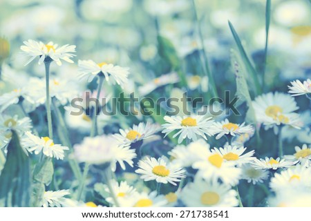 Daisy flowers - spring daisy flowers  - stock photo
