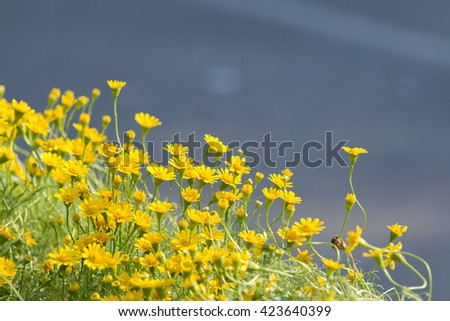 Daisy flowers - yellow flowers