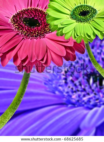 Daisy gerbera flowers in pink purple and green - abstract close up - stock photo
