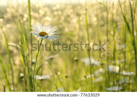 Daisy in a meadow backlit by the morning sun. - stock photo