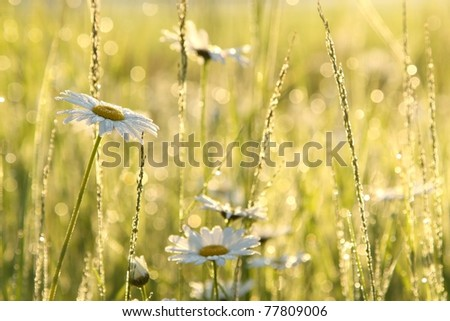 Daisy in a meadow covered with morning dew. - stock photo