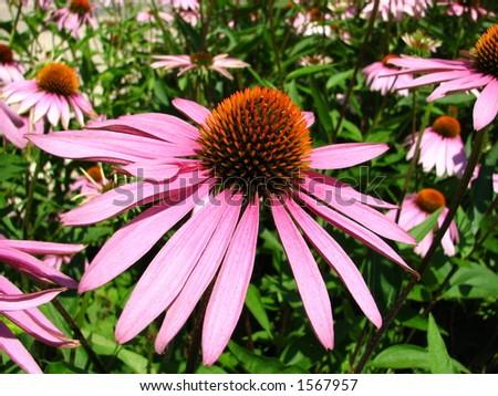Daisy in bloom - Echinacea - stock photo