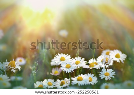 Daisy in grass lit by sunlight  - stock photo