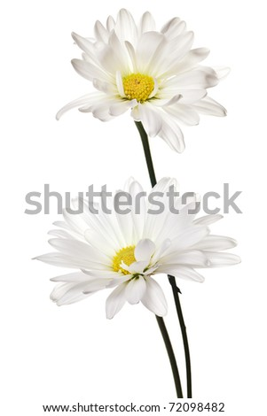 daisy isolated on a pure white background - stock photo