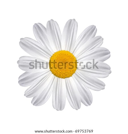 Daisy isolated on a white background - stock photo